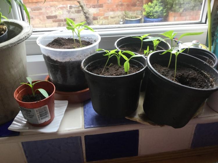 Chilli Plant Shoots