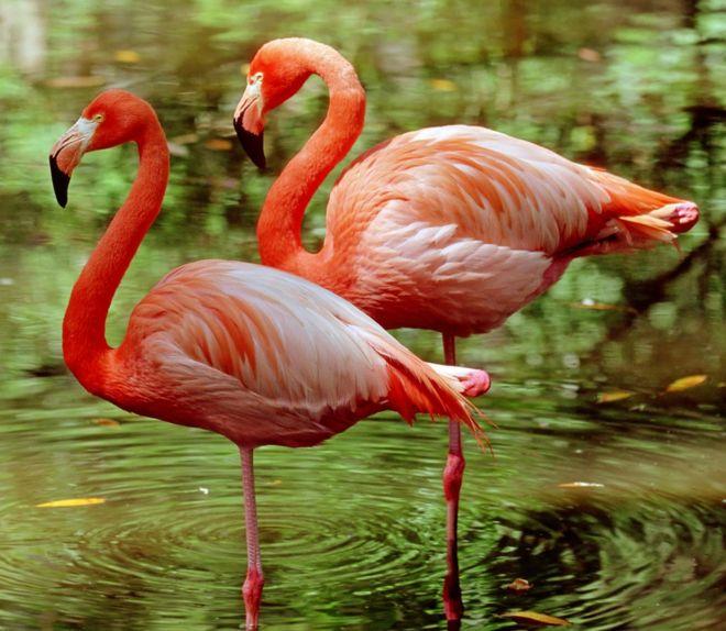 _96180661_z8240029-greater_flamingoes_phoenicopterus_ruber_-spl