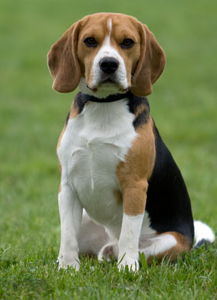 13209310762046954011beagle-md.png