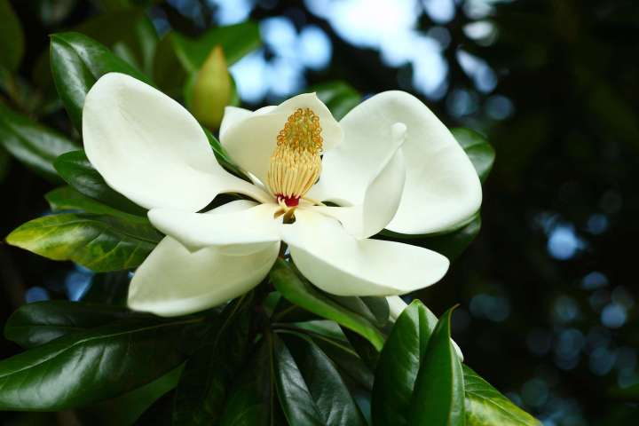 Magnolia Time in Louisiana