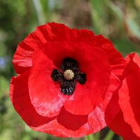 Poppies for Remembrance *