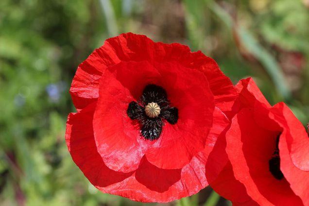 Field_poppy_-_Papaver_rhoeas_(12190335083)