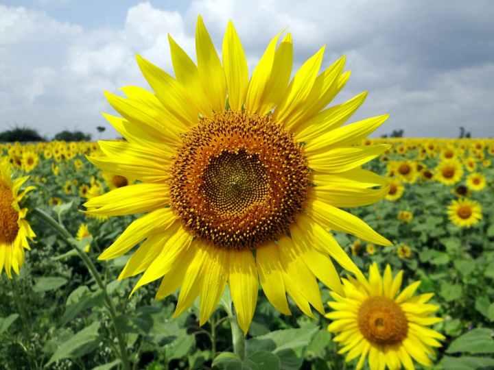 flower-sunflower-karnataka-india-64221.jpeg