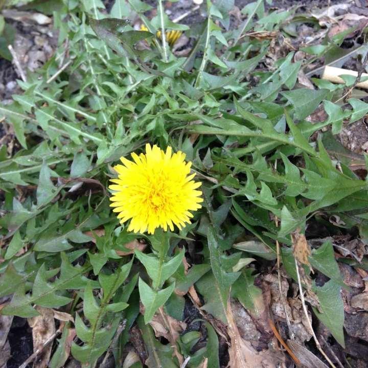 Dandelion Greens Recipe*