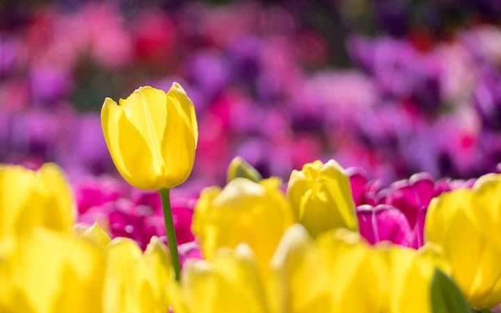 Tulip day