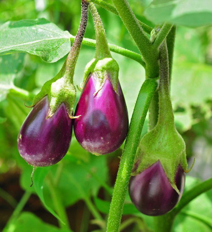 Garden View *Eggplant