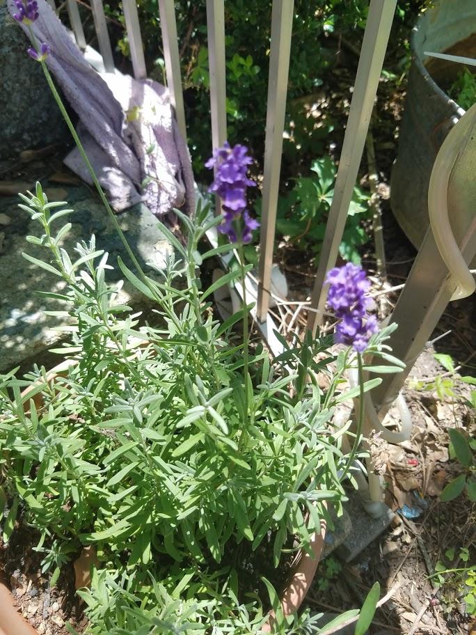 FOTD : Lavender