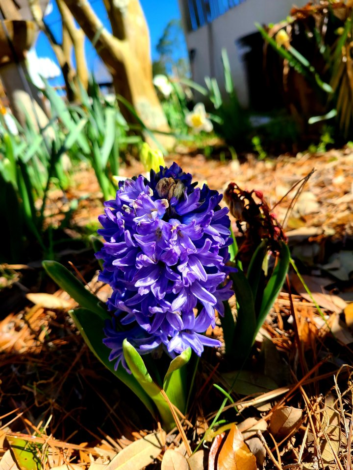 FOTD :  Spring BulbsHyacinths
