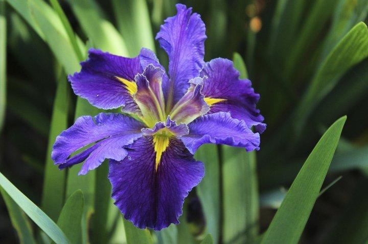 Louisiana iris :FOTD
