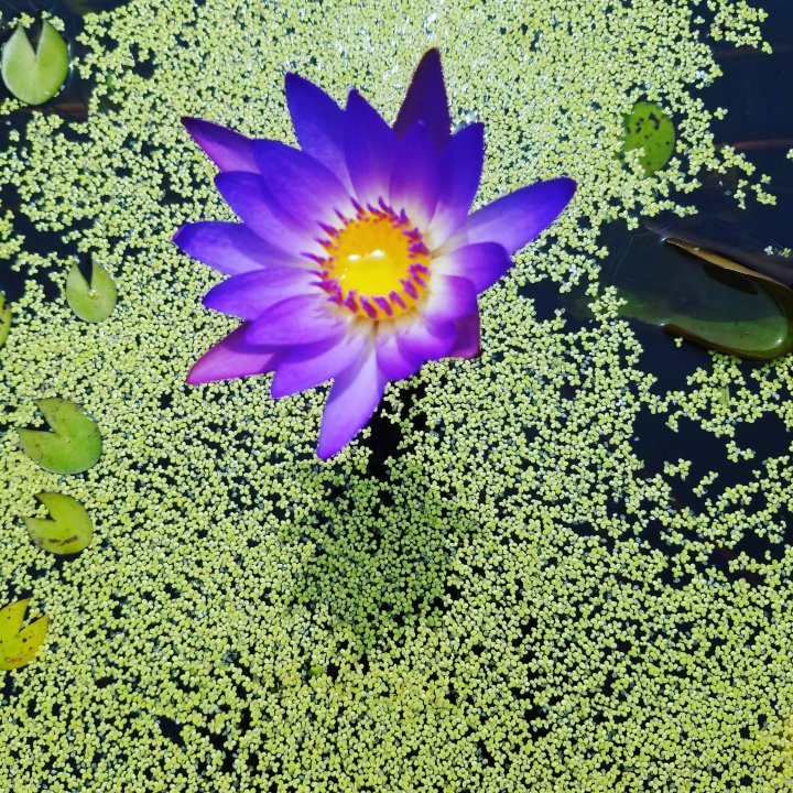 FOTD: water lily