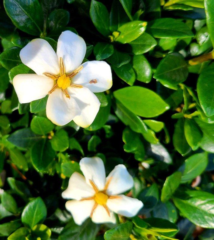 FOTD: Gardenia